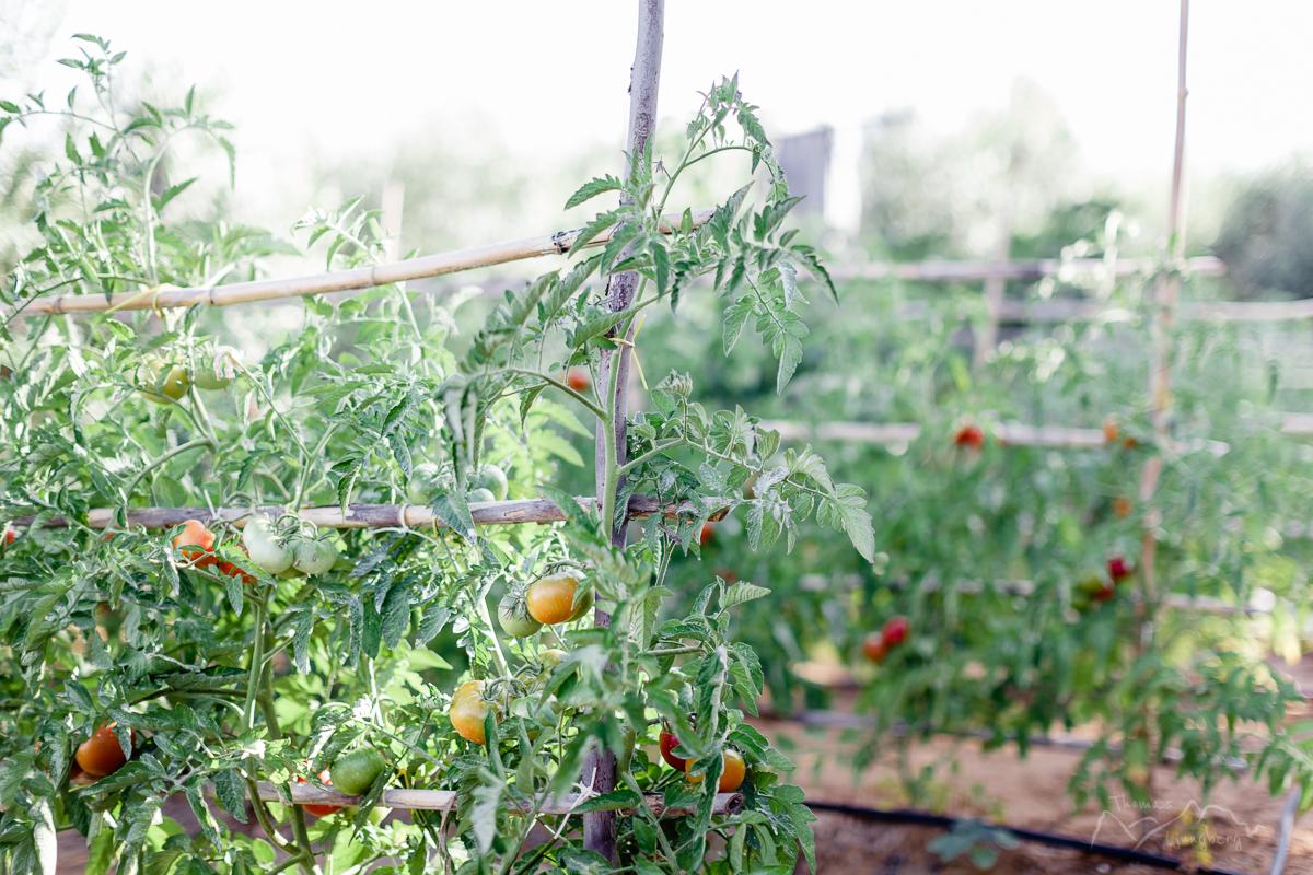 Rosarios tomato garden