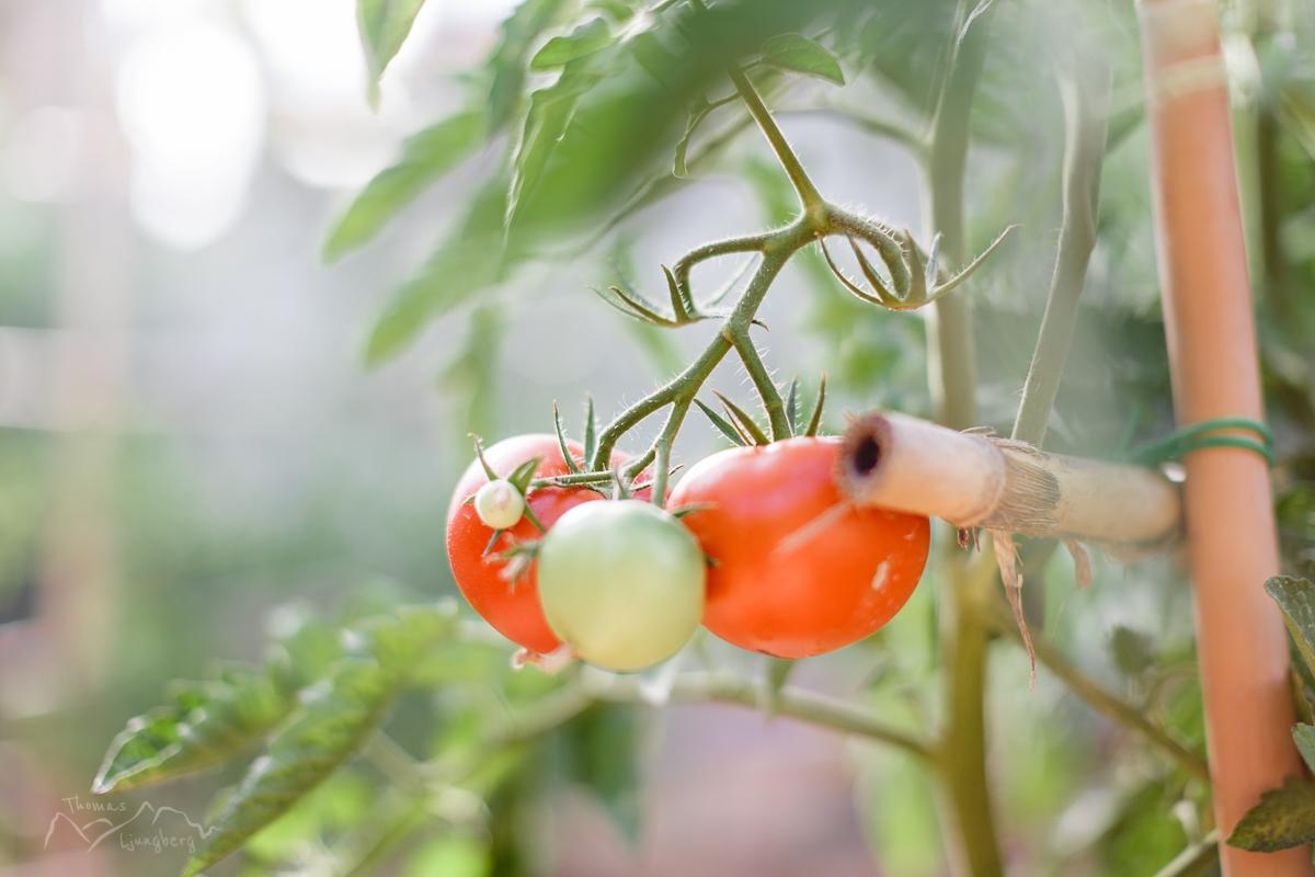 Delicious tomatos!